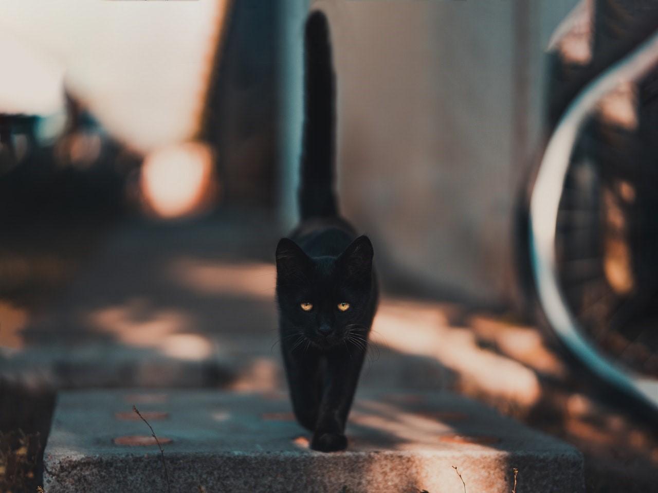 Black cat, superstition, superstitious